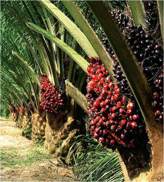Palm Oil & Derivatives - Global Market Outlook (2015-2022)